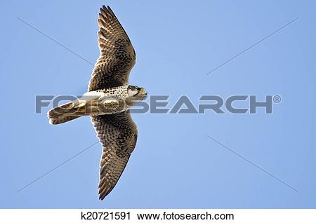 Prairie Falcon clipart #13, Download drawings