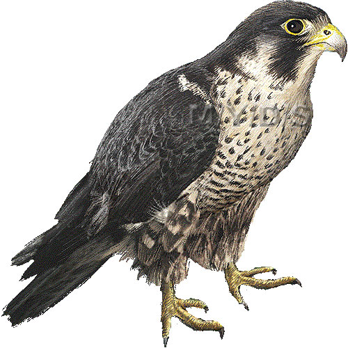 Prairie Falcon clipart #7, Download drawings