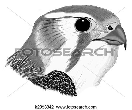 Prairie Falcon clipart #19, Download drawings
