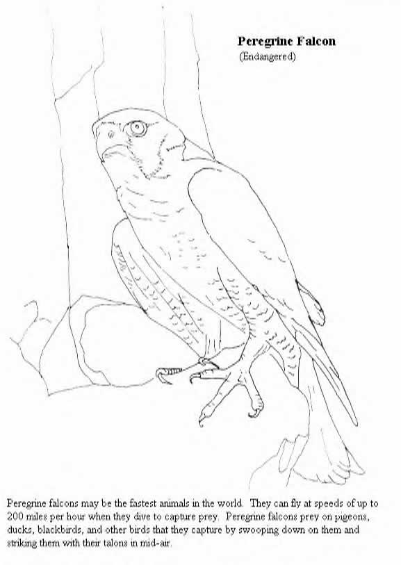 Prairie Falcon coloring #7, Download drawings