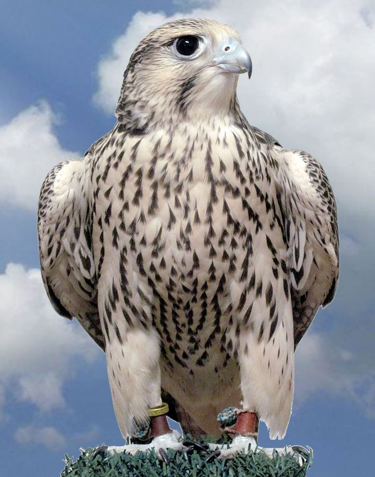 Prairie Falcon svg #7, Download drawings