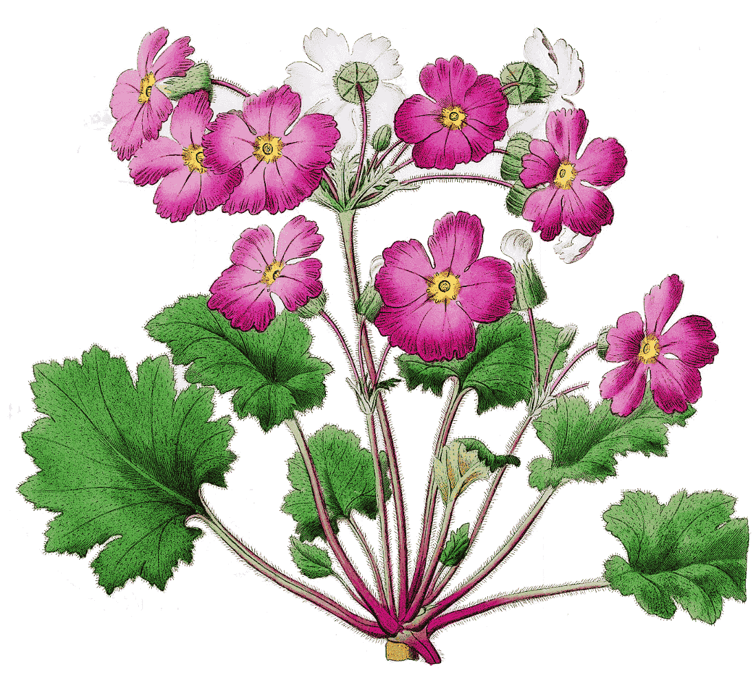 Primula clipart #2, Download drawings