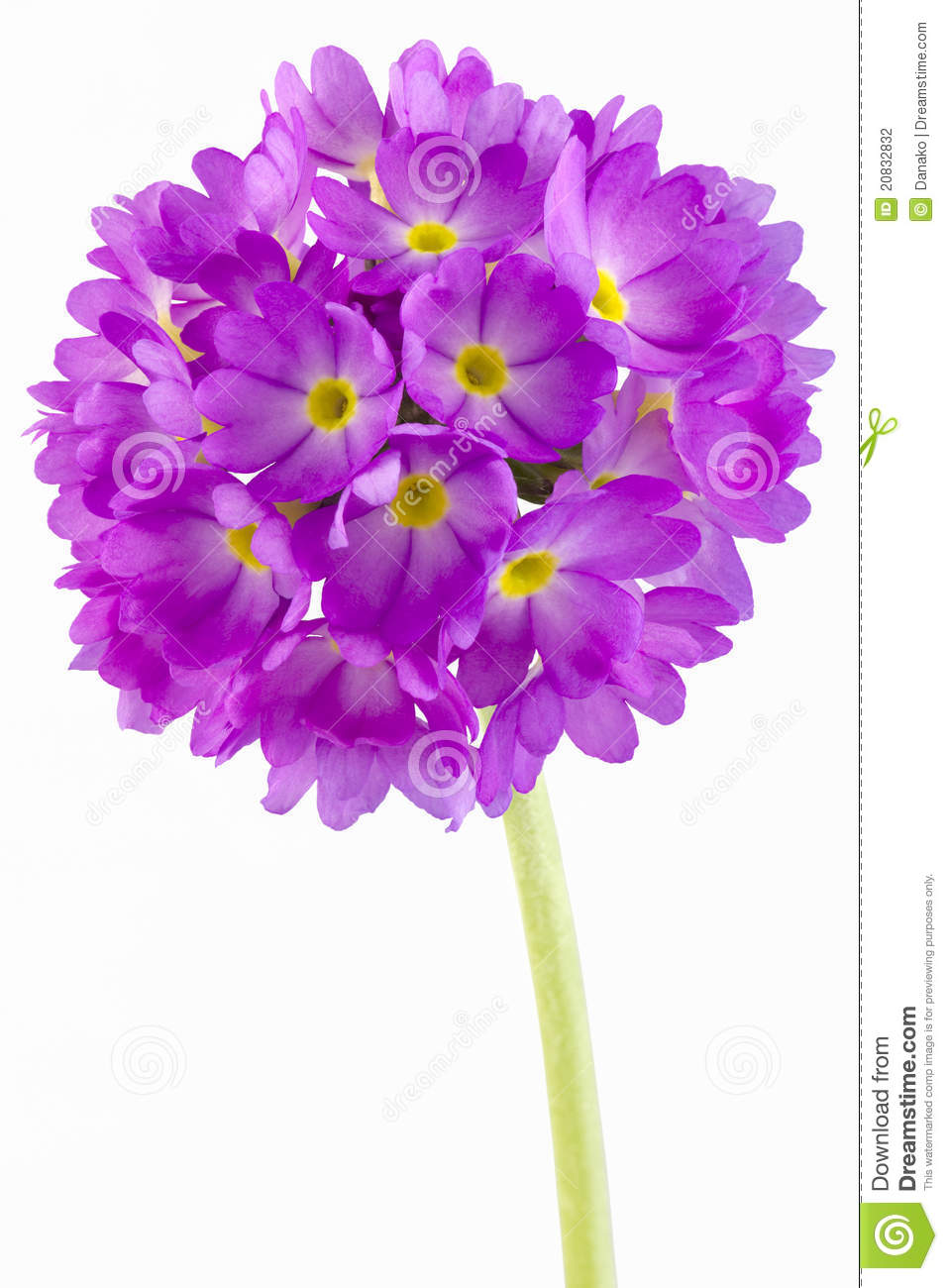 Primula clipart #13, Download drawings