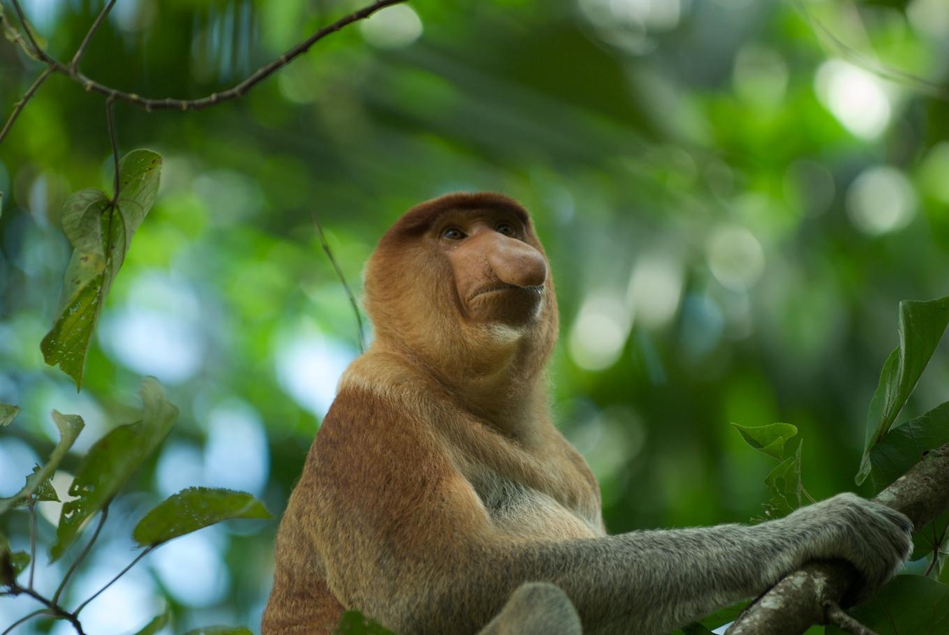 Proboscis Monkey svg #20, Download drawings