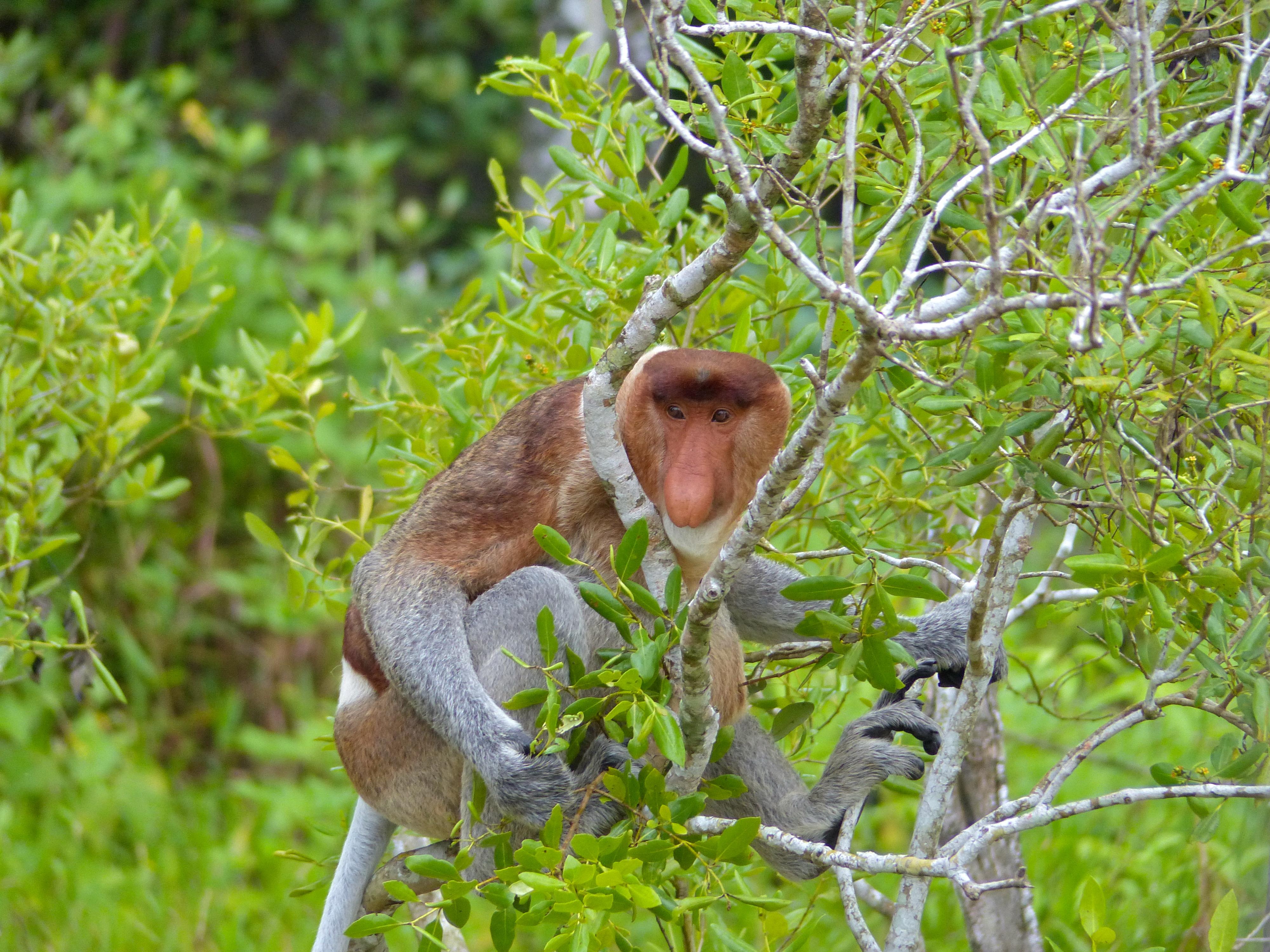 Proboscis Monkey svg #1, Download drawings