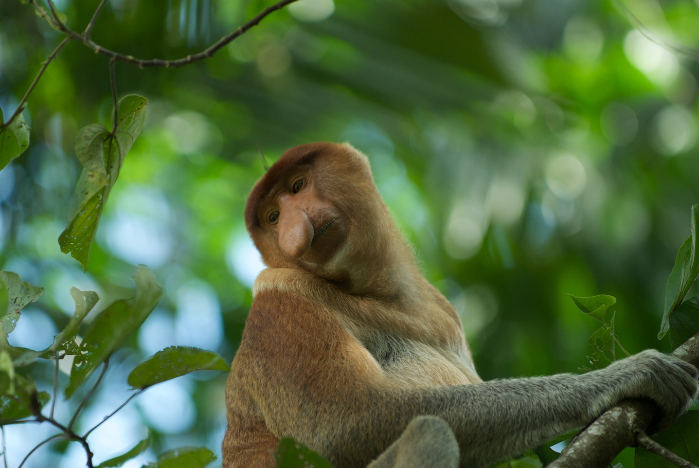 Proboscis Monkey svg #13, Download drawings
