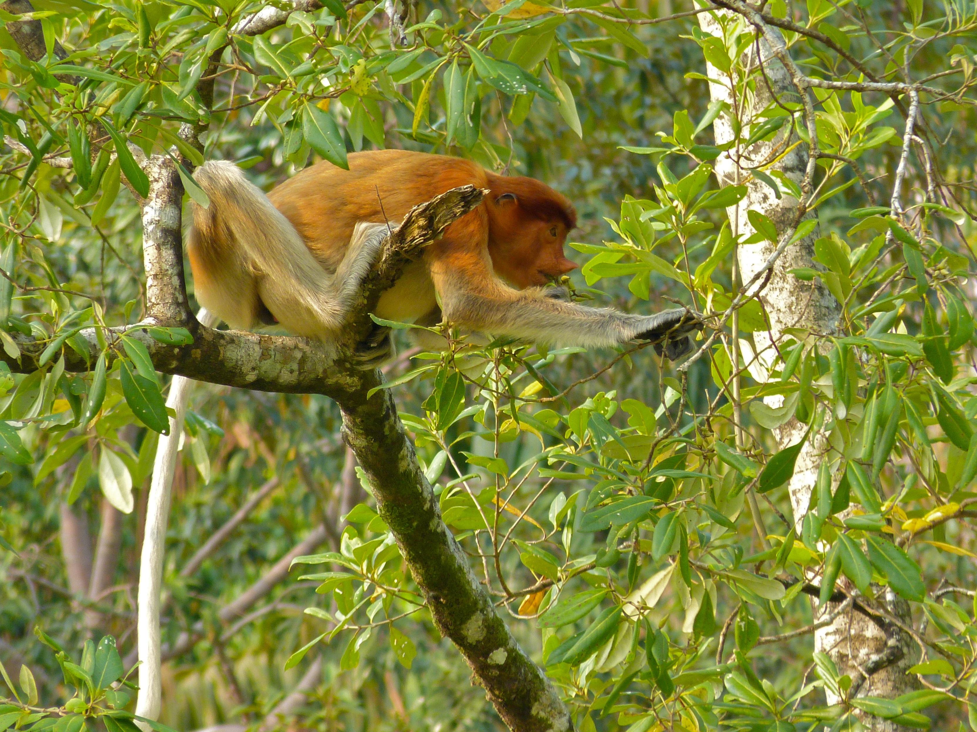 Proboscis Monkey svg #4, Download drawings