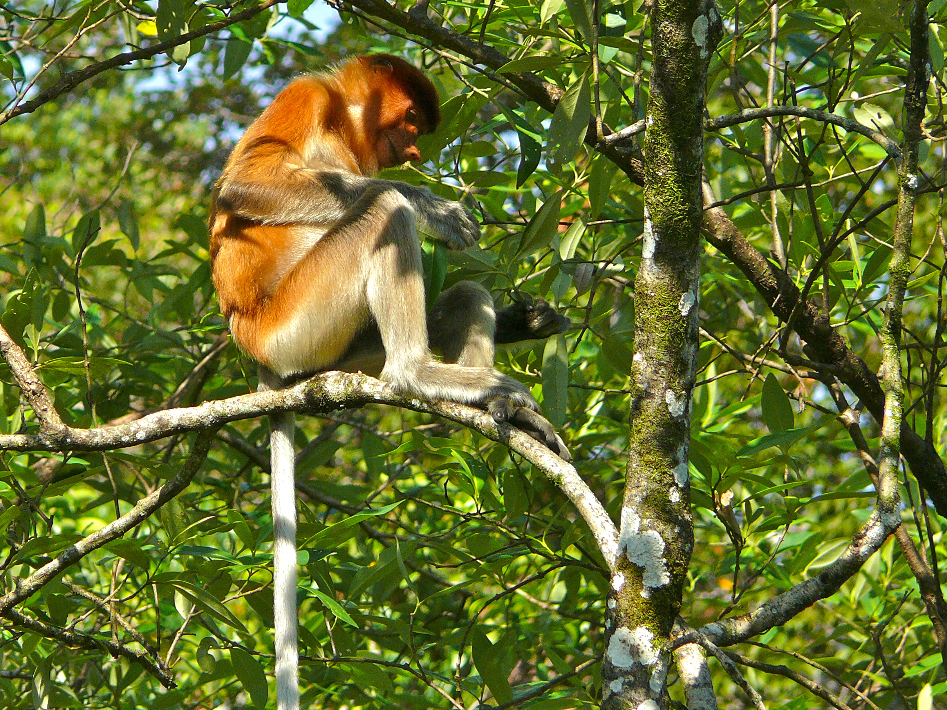 Proboscis Monkey svg #3, Download drawings