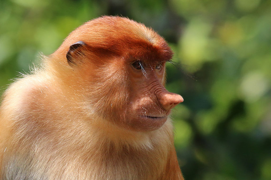 Proboscis Monkey svg #12, Download drawings
