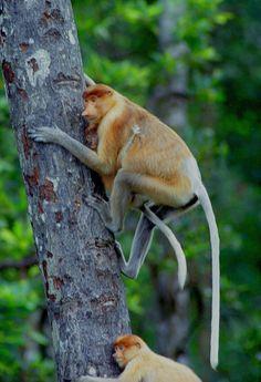 Proboscis Monkey svg #6, Download drawings