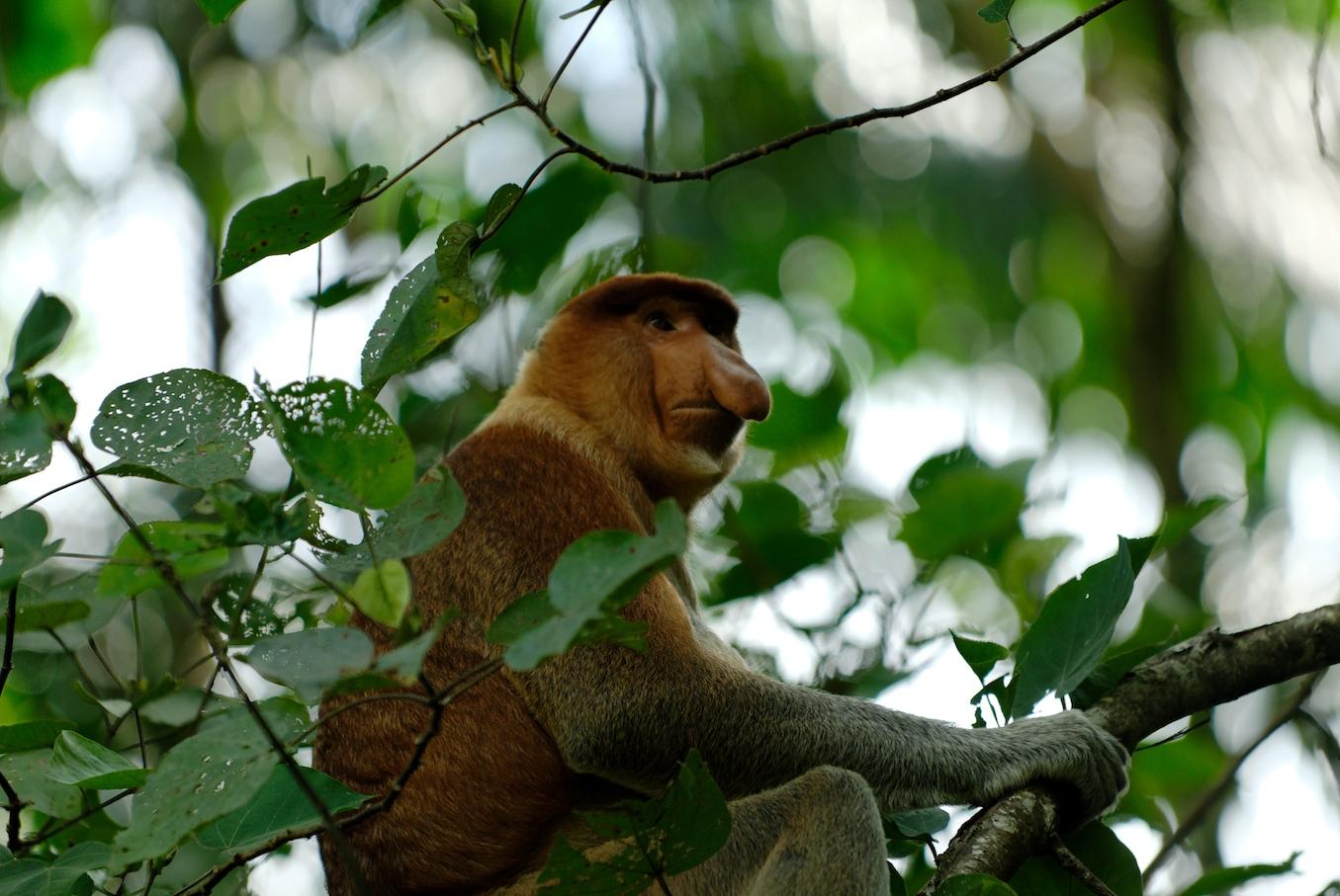 Proboscis Monkey svg #9, Download drawings