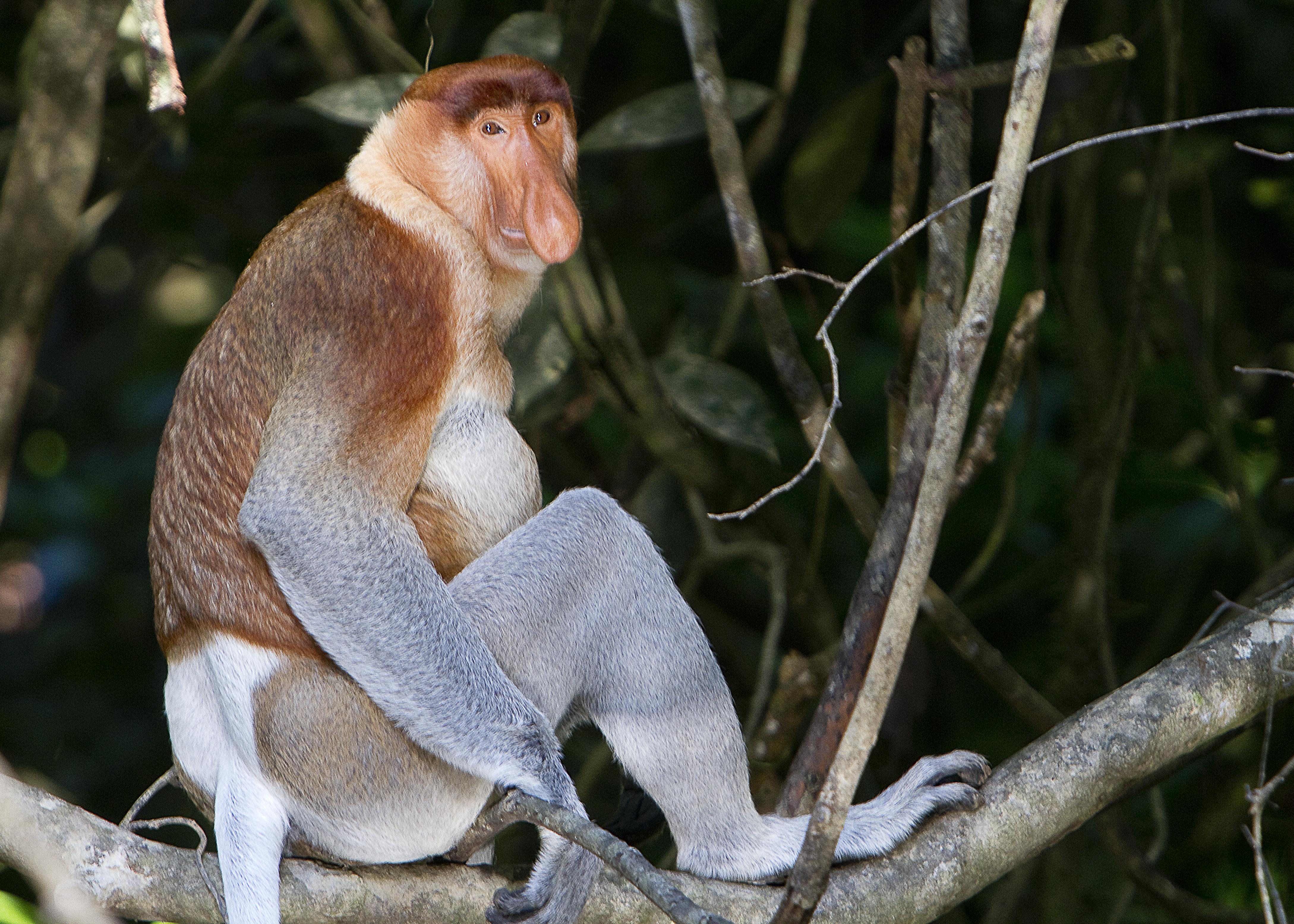 Proboscis Monkey svg #5, Download drawings