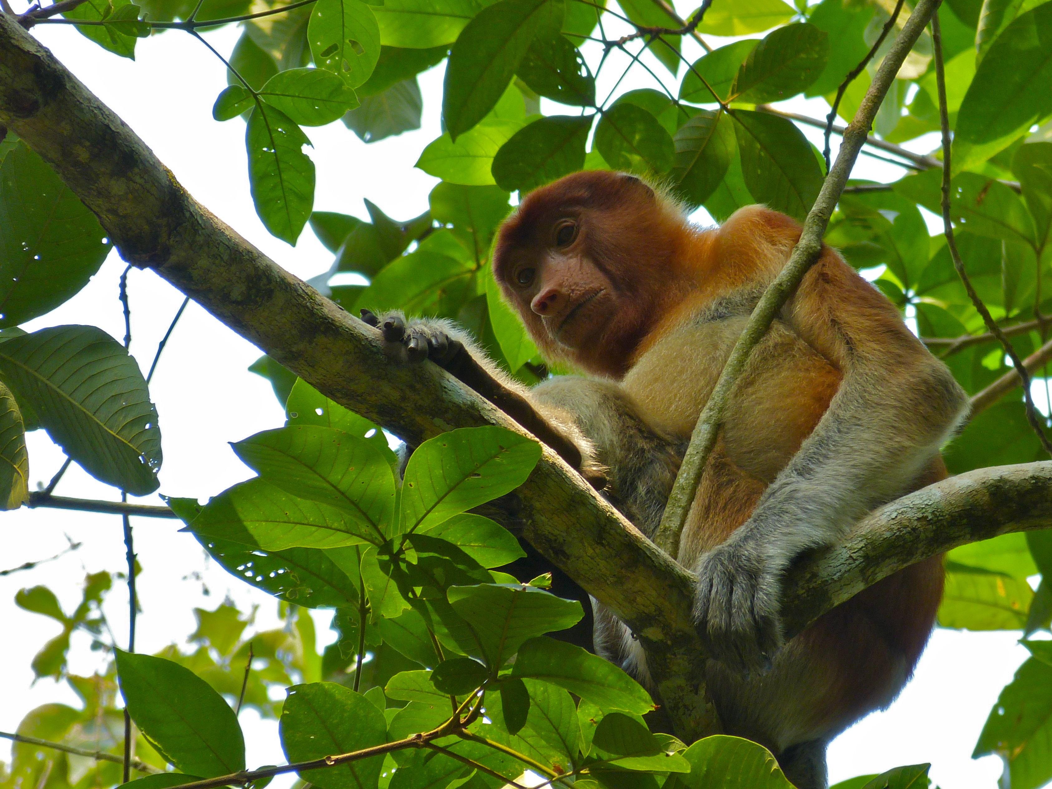 Proboscis Monkey svg #2, Download drawings