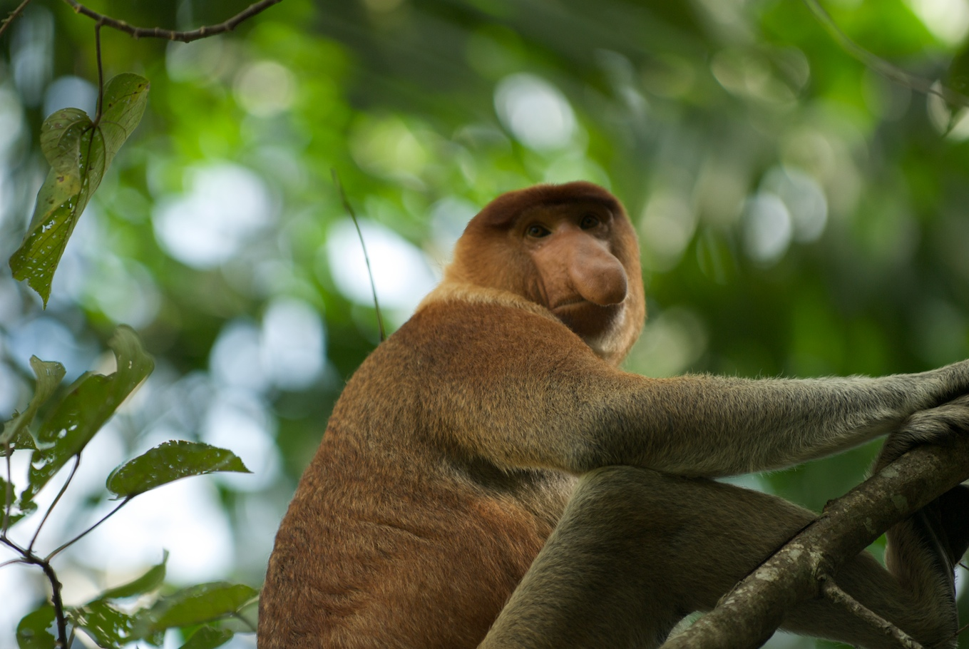 Proboscis Monkey svg #19, Download drawings