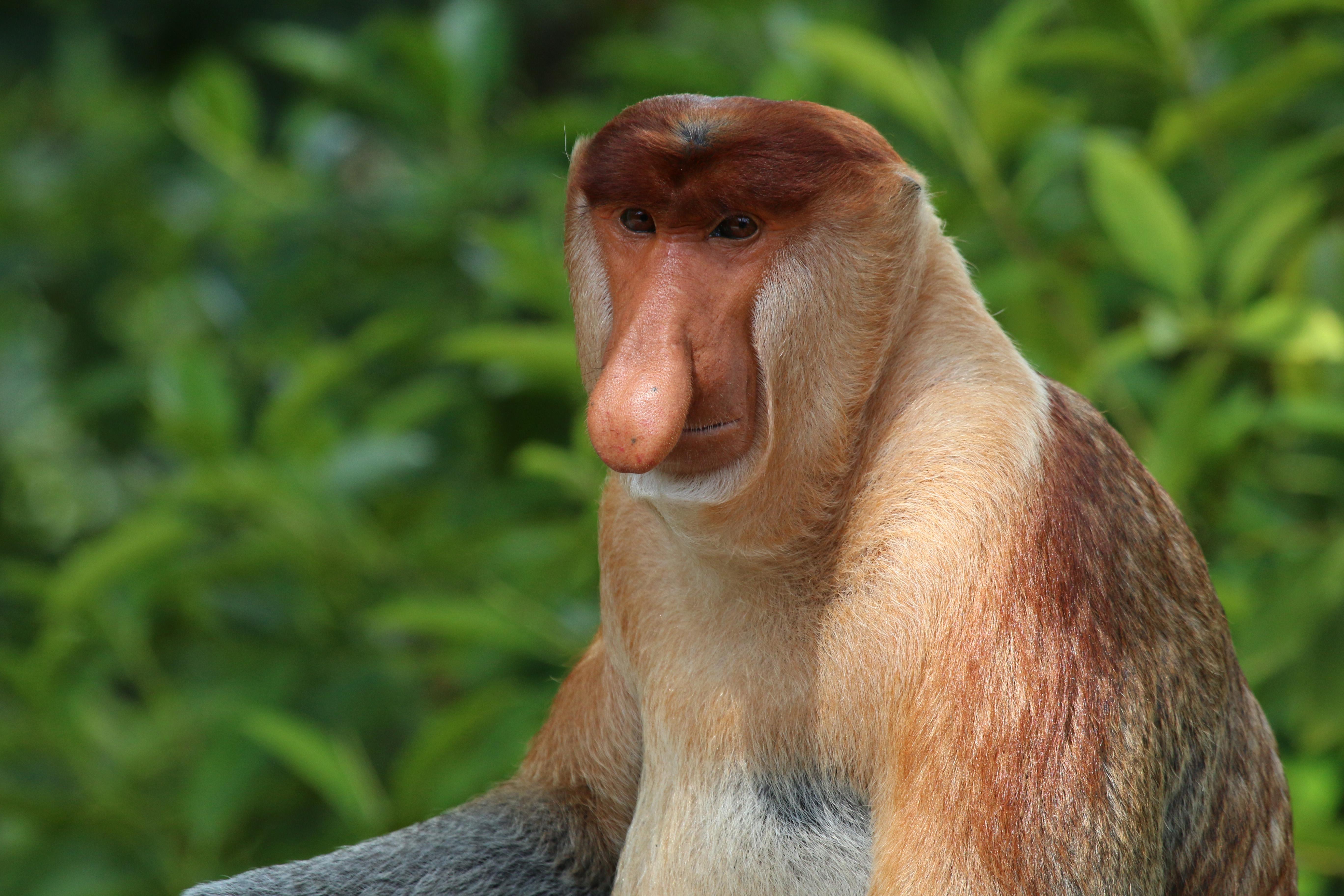 Proboscis Monkey svg #10, Download drawings