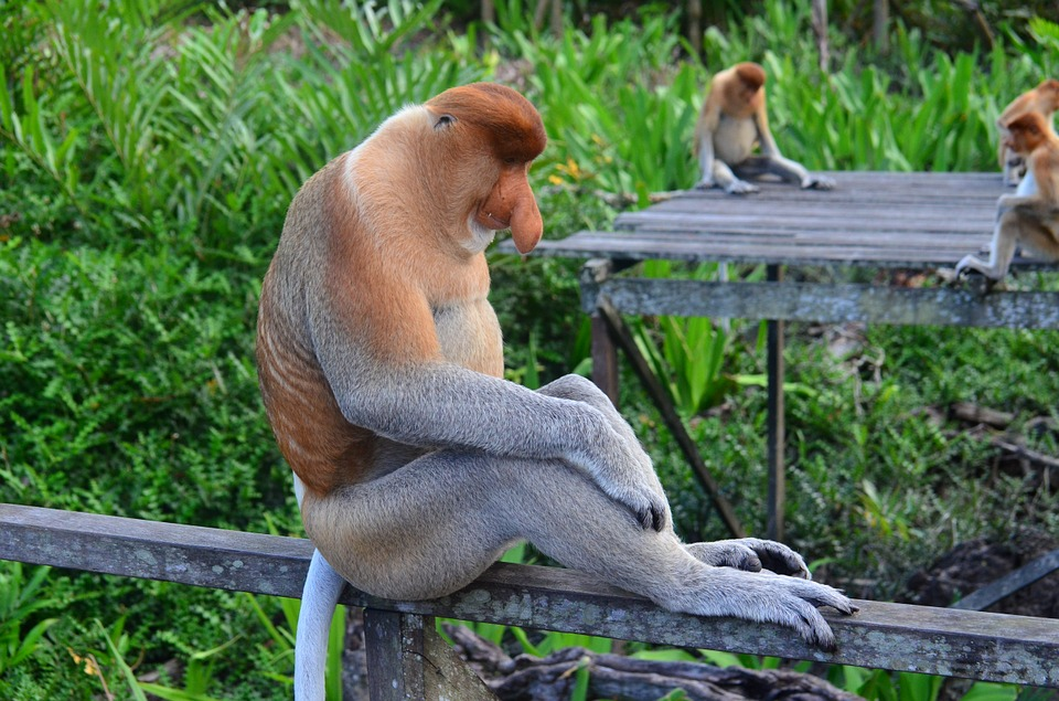 Proboscis Monkey svg #7, Download drawings