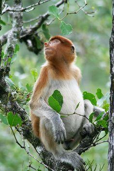 Proboscis Monkey svg #16, Download drawings