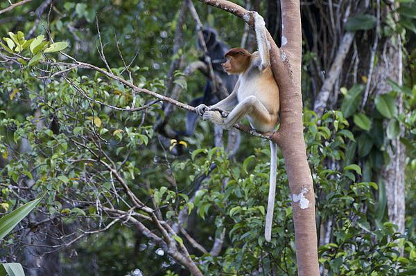 Proboscis Monkey svg #11, Download drawings
