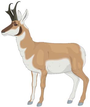 Pronghorn Antelope clipart #20, Download drawings
