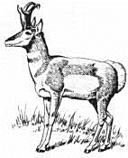 Pronghorn clipart #13, Download drawings