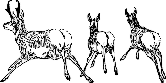 Pronghorn clipart #1, Download drawings