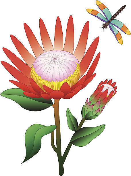 Protea clipart #19, Download drawings