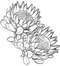 Protea clipart #9, Download drawings