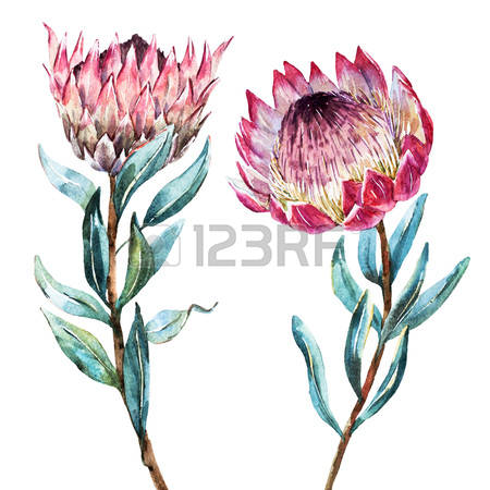 Protea clipart #2, Download drawings