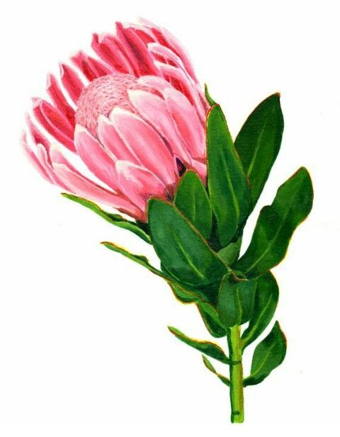 Protea clipart #1, Download drawings