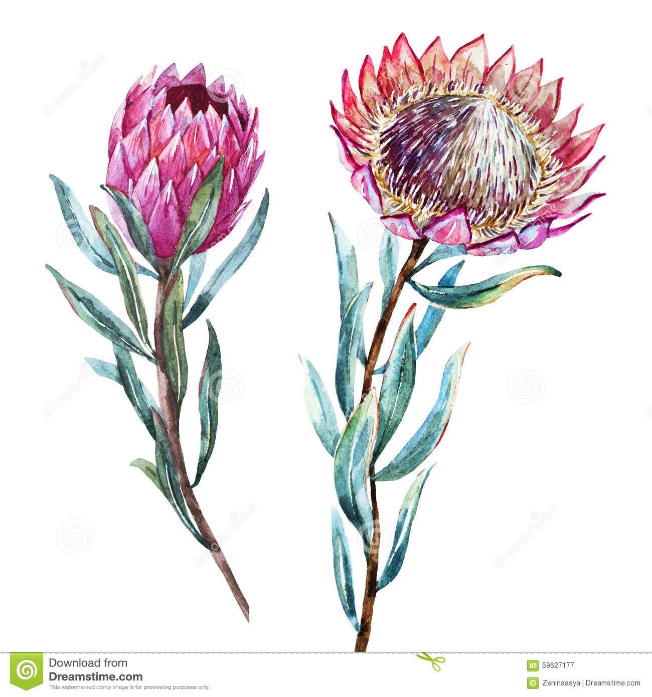Protea clipart #17, Download drawings