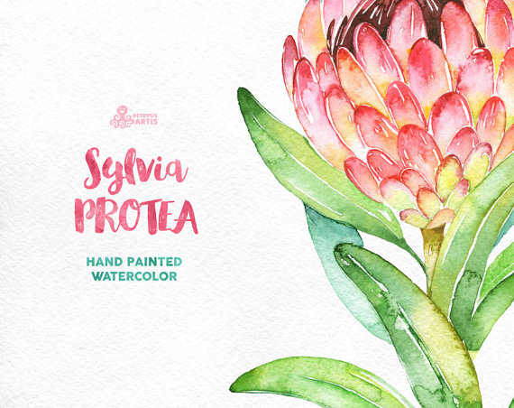 Protea clipart #7, Download drawings
