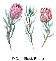 Protea clipart #16, Download drawings