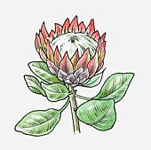 Protea clipart #14, Download drawings