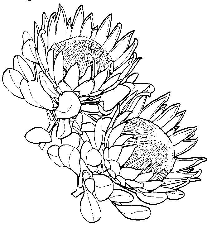Protea coloring Download Protea coloring