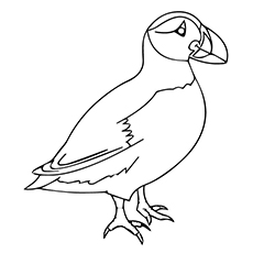Puffin Coloring Download Puffin Coloring