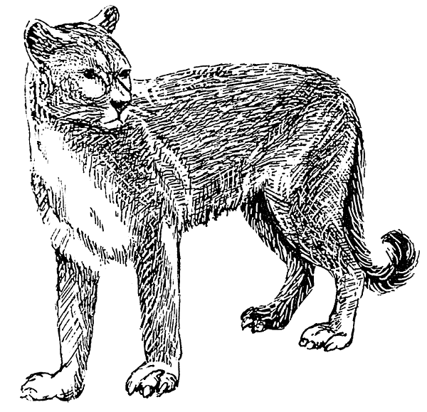 Puma clipart #12, Download drawings