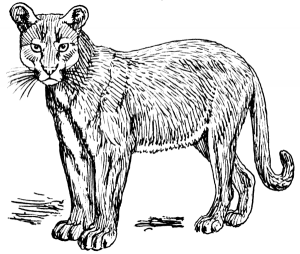 Puma clipart #2, Download drawings