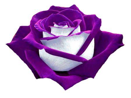 Purple Rose clipart #18, Download drawings