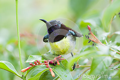 Purple-rumped Sunbird clipart #20, Download drawings