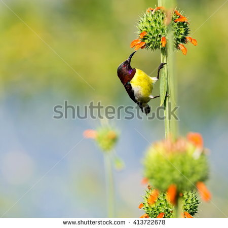Purple-rumped Sunbird clipart #4, Download drawings