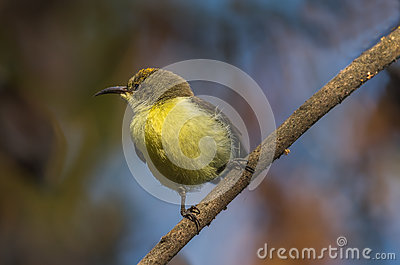 Purple-rumped Sunbird clipart #16, Download drawings