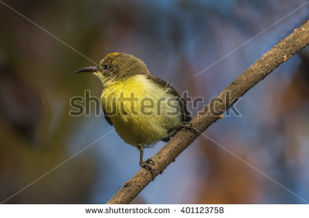 Purple-rumped Sunbird clipart #9, Download drawings