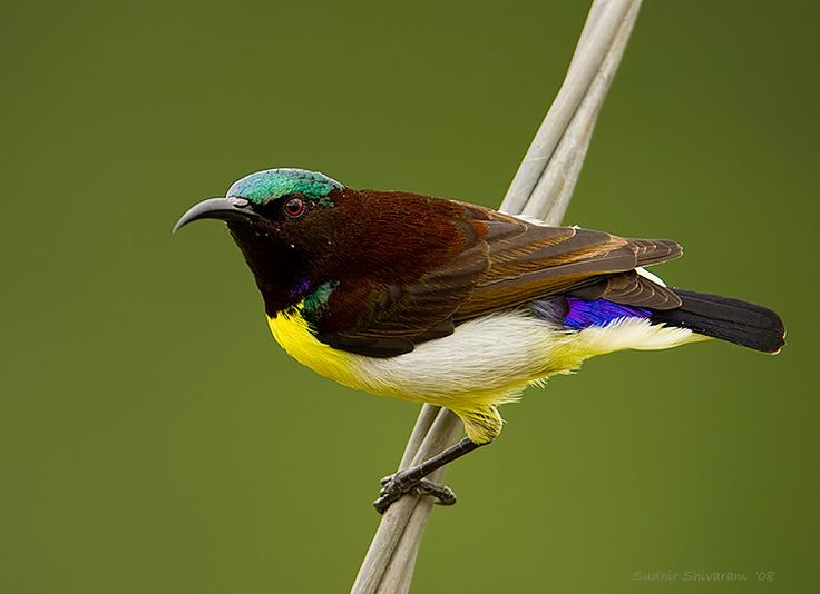 Purple-rumped Sunbird clipart #8, Download drawings