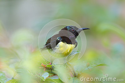 Purple-rumped Sunbird clipart #17, Download drawings