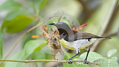 Purple-rumped Sunbird clipart #19, Download drawings
