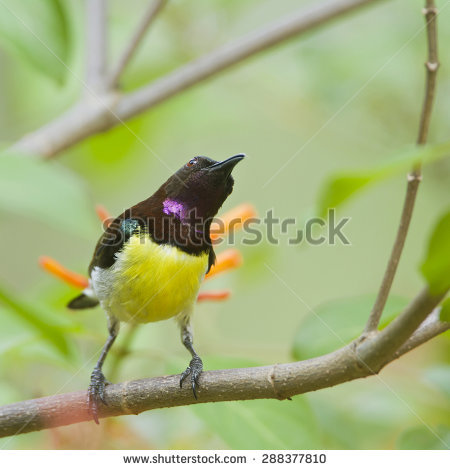 Purple-rumped Sunbird clipart #1, Download drawings