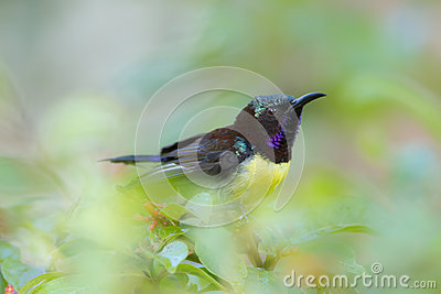 Purple-rumped Sunbird clipart #15, Download drawings