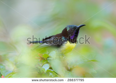 Purple-rumped Sunbird clipart #7, Download drawings