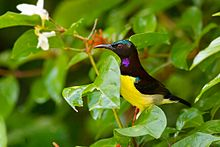 Purple-rumped Sunbird svg #17, Download drawings
