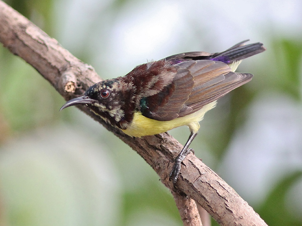 Purple-rumped Sunbird svg #7, Download drawings